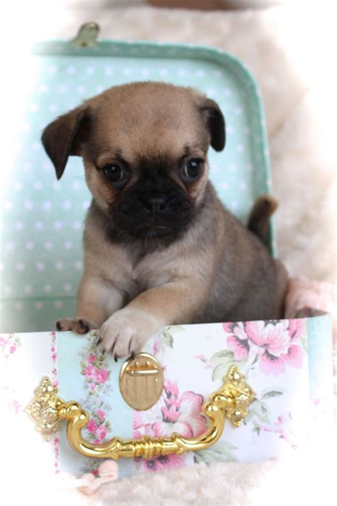 pug chihuahua puppies pug x chihuahua puppies norfolk pets4homes