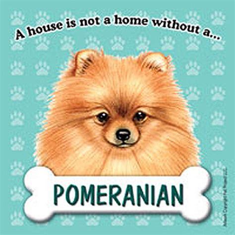 shunsuke pomeranian for sale pomeranian merchandise breeds picture