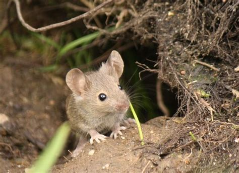 when do mice like to come out pet mice co uk