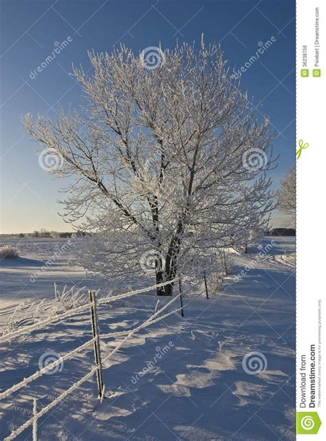 Frosty Tree - frosty tree royalty free stock image image 36238756