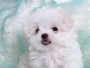 Cute white puppies in photos funny and cute animals