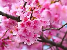 Flower Cherry Blossom Tree Wallpaper