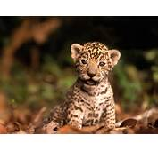 Baby Animals Jaguar Cub