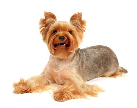 corte de pelo yorkshire terrier c 243 mo cortar el pelo a un yorkshire