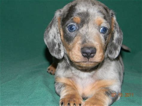dachshund puppies tn miniature dachshund puppies for sale in tn photo
