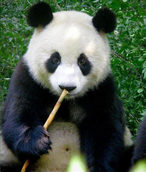 blue black and wight panda cute black and white panda colors photo 34711821 fanpop