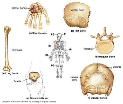 osseous tissue diagram osseous tissue skeletal structure biological sciences