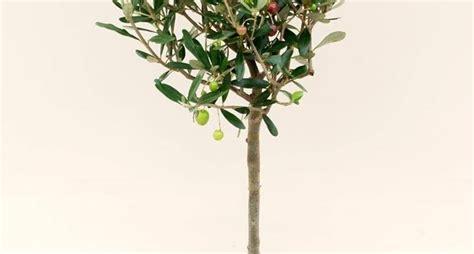 coltivazione olivo in vaso olivo in vaso olivo come coltivare l olivo in vaso