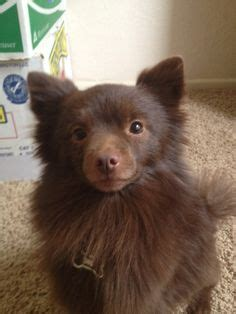 chocolate brown pomeranian chocolate brown pomeranian could be a lost of my chewie dogs i want