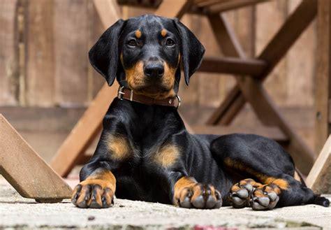 german pinscher puppies for sale german pinscher puppies for sale akc puppyfinder