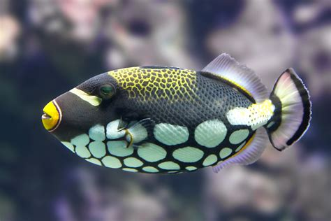 what color are fish uq triggers reef fish colour vision study uq news the