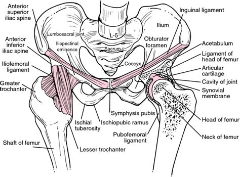 diagram of the hip anatomy organ pictures sles collection hip ligaments