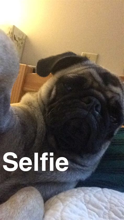 pug selfie 17 best images about snapchats on boats the o jays and clowns