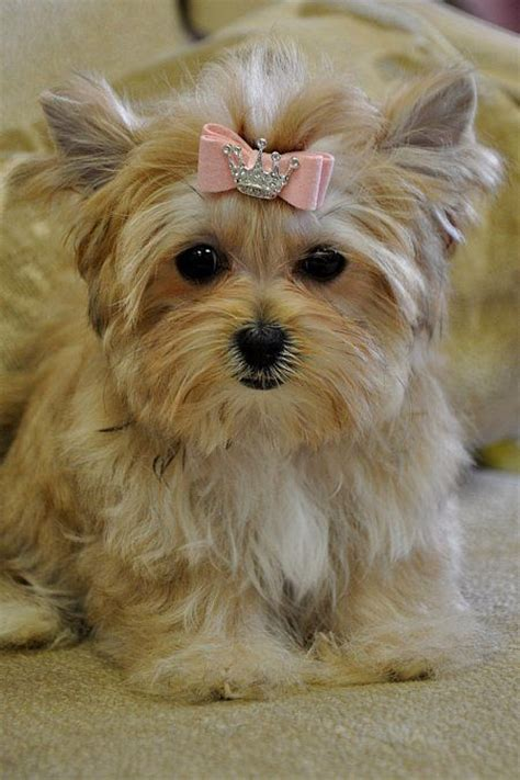 Puppy Haircuts For Yorkie Maltese Mix | 1000 images about yorkie mixes on pinterest yorkies