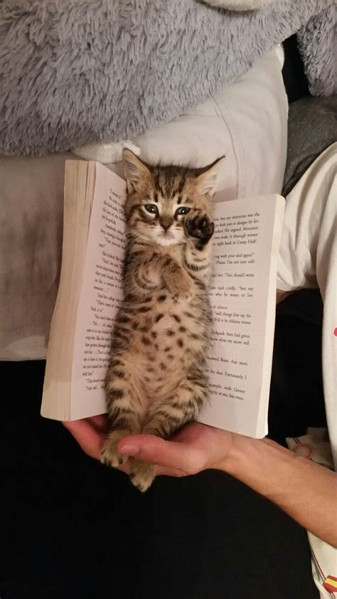 how to live like your cat books 1000 ideas about kittens on adorable kittens