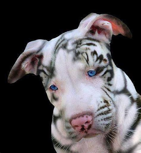 that looks like a tiger amazing looks like a tiger of dogs