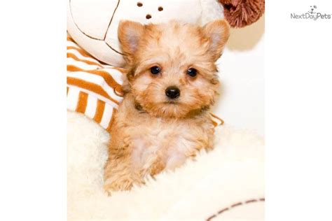 teacup yorkie poo sale pin find yorkiepoo yorkie poo puppies for sale and on