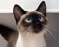 siyam kedisi bakimi uzmantv