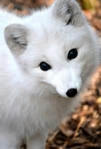 Cute arctic fox with blue eyes cute little white arctic fox
