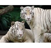 White Bengal Tigers  Splendid Wallpaper HD