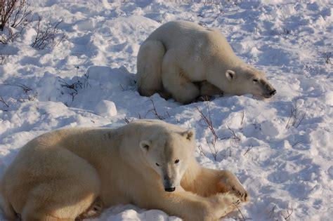 polar bears spotted near churchill churchill polar bears