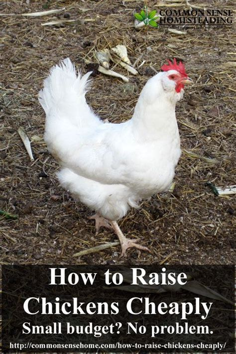 how to care for chickens in your backyard 10 best images about homesteading on pinterest raising