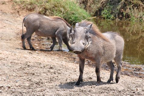 imagenes de animales jabali images gratuites r 233 gion sauvage animal faune p 226 turage