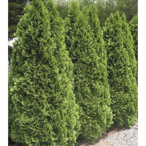 shop 5 9 gallon insignificant emerald green arborvitae l5480 at lowes com