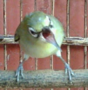 Harga Pakan Burung Nektar ramuan pakan agar pleci berstamina joss kicaukan klub