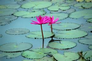 Lotus Ponds Lotus Pond Heifer 12 X 12