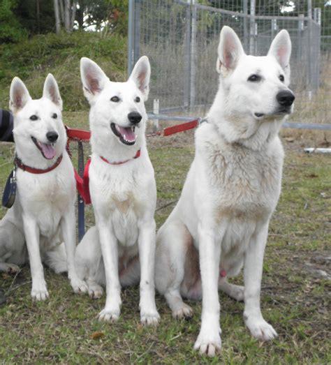 white shepherd puppies three white shepherd dogs photo and wallpaper beautiful three white shepherd dogs
