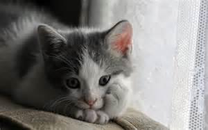 Cute-<strong>Kitten</strong>-<strong>kittens</strong>-16123802-1280-800.jpg