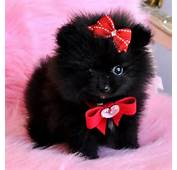Black Pomeranian On Pinterest  Puppy White And