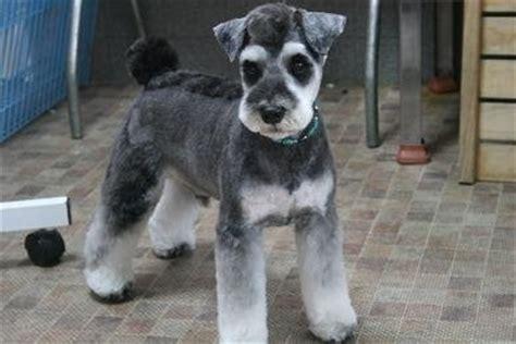 asian style schaunzer hair trim japanese style schnauzer grooming dogs pinterest