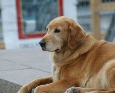 arthritis in golden retrievers glucosamine for arthritis is it safe golden retrievers