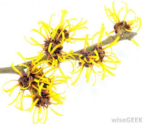 witch hazel for ingrown hair does witch hazel help ingrown hairs how can i shave my