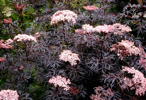 top flowering shrubs top 10 flowering shrubs garden housecalls