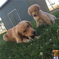 golden retriever bend oregon golden retriever stud dogs in oregon