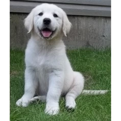 platinum golden retrievers platinum goldens golden retriever breeder in interlochen michigan listing id 17401