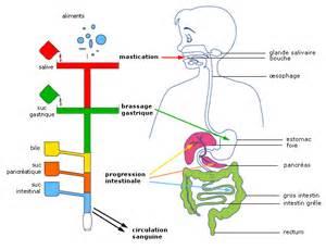 cours de svt la digestion des aliments maxicours