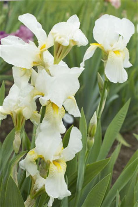 schwertlilie pflege schwertlilie iris pflanzen pflege vermehren und schneiden