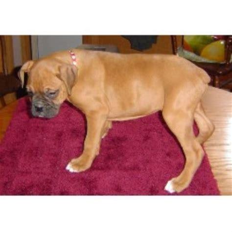 boxer puppies iowa boxer breeders in iowa freedoglistings