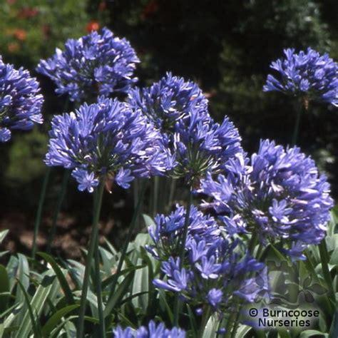buy agapanthus plants from burncoose nurseries agapanthus the flower of love pinterest