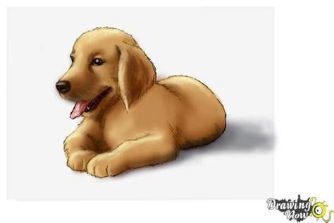 draw golden retriever puppy how to draw a golden retriever puppy drawingnow