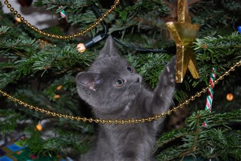 cats love christmas trees 36 pics