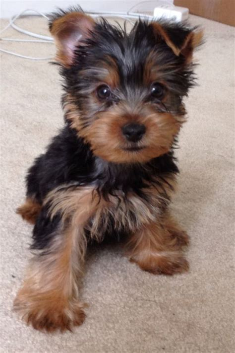 yorkshire short cuts yorkie teacup yorkie and yorkshire terrier on pinterest