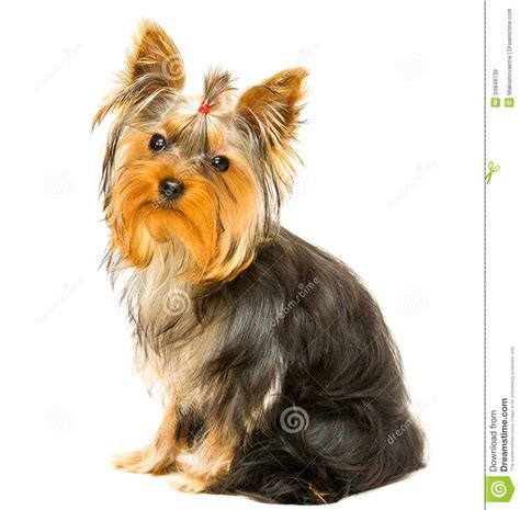 yorkie clipart terrier stock image image of domestic portrait 34848739
