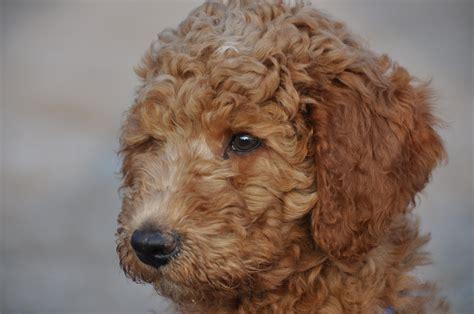 doodlebug nederland de puppies bij nieuwe baasjes australian labradoodle