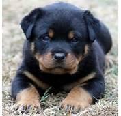 Baby Rottweilers  Rottweiler Daweee Pinterest