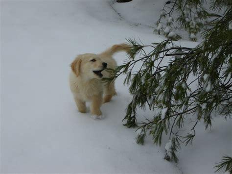 golden retriever 12 weeks our golden retriever at 12 weeks dogs 12 weeks and golden retrievers